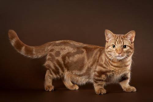 【猫の寿命】マンチカンの寿命についてご紹介します