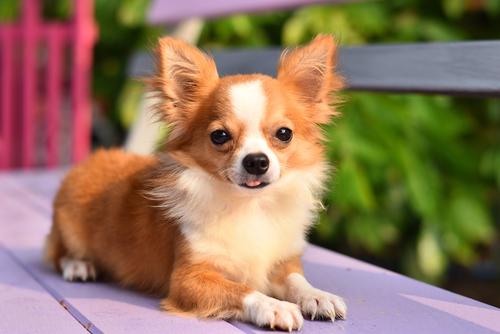 かわいすぎる世界最小の犬種チワワ! 飼い方・性格・特徴などのすべて