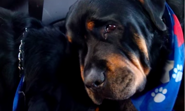 Rottweiler Cries For Dead Brother