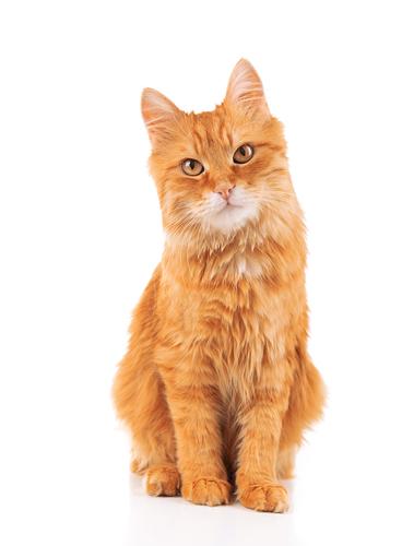 猫の毛色と性格、果たして関連はあるの?