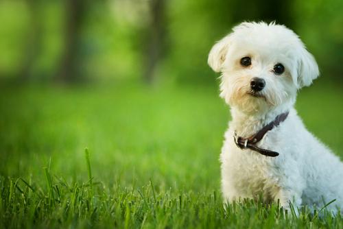 マルチーズとダックスのミックス犬!マルックスの性格や特徴