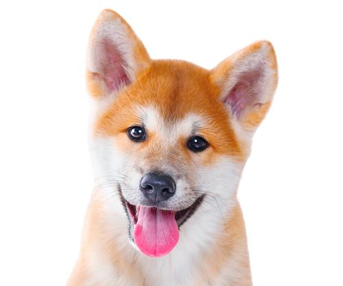可愛い柴犬さんのパラダイス!可愛い・面白い柴犬さんの画像を紹介します