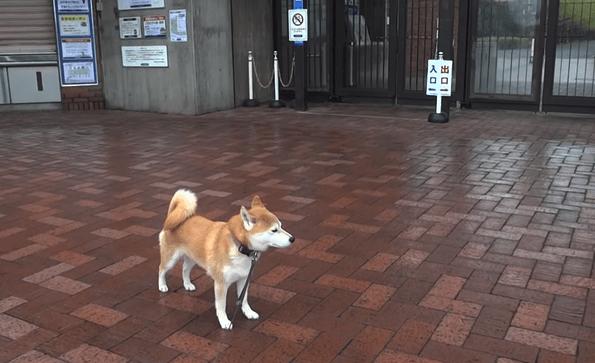 【それでも柴犬は諦めないのだ】お散歩で寄った公園が閉園だった → ひたすら待とうとする柴(TT)