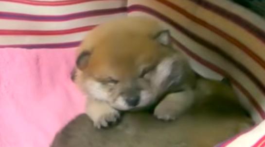 「子柴犬の寝言」を一回想像してから、クリックしてみてください。想像超えた可愛さです♡