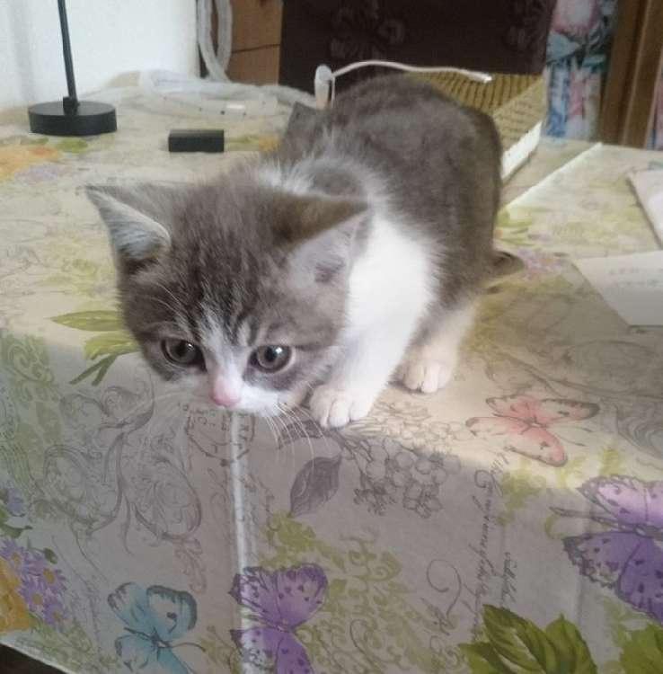 【まさかの選択♡】テーブルの上から飛び降りるのが怖くなった子猫 → このあと取った行動が…!  3枚