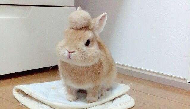 【ちょこん♡】ふわふわ抜け毛を頭に乗せた、換毛期のウサギの「可愛すぎる姿」が話題に…♡ 4枚
