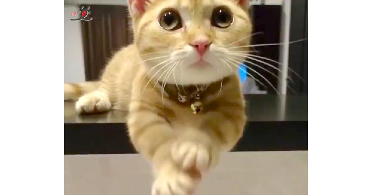 ママがキッチンに立つと始まる♡ 食いしん坊ネコちゃんによる止まらないおねだり攻撃(艸д゚*)