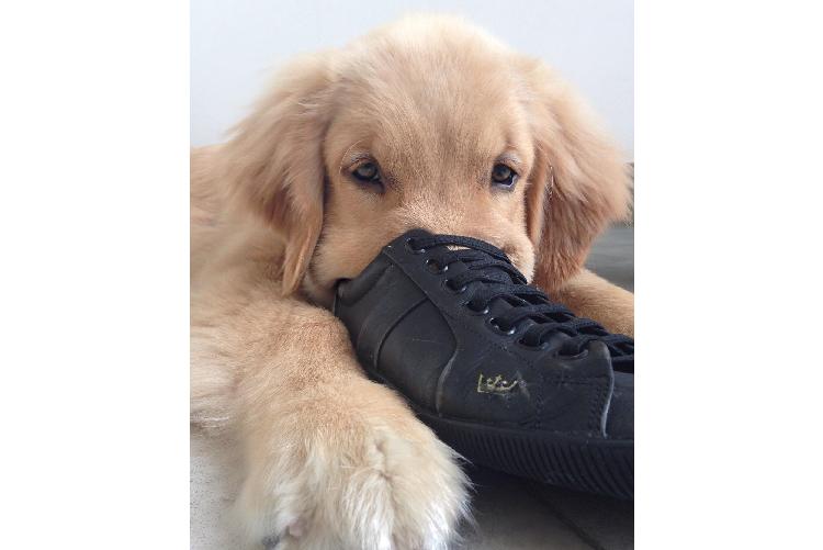 飼い主さんの靴の中に、顔を突っ込むゴールデン → 落ち着きすぎてしまって…(*´ェ`*)♡