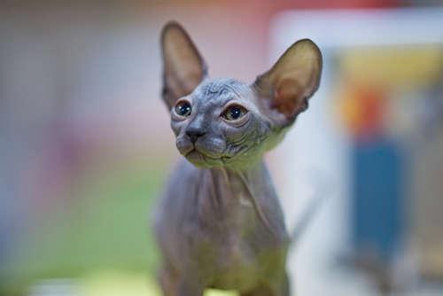 スフィンクスってどんな猫? 歴史や体の特徴について