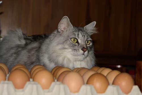 【たまご】あげても大丈夫?猫と卵【猫】