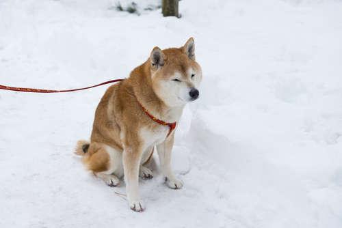 柴犬の冬季の過ごし方!冬場に気を付けなければいけない事とは