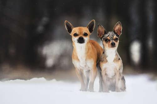 【お役立ち】チワワの冬の散歩はどうしたらいい?