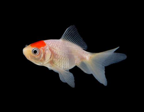 金魚が最もなりやすい病気「白点病」とは?
