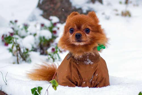 【冬のポメラニアン】ポメラニアンに寒さ対策は必要???