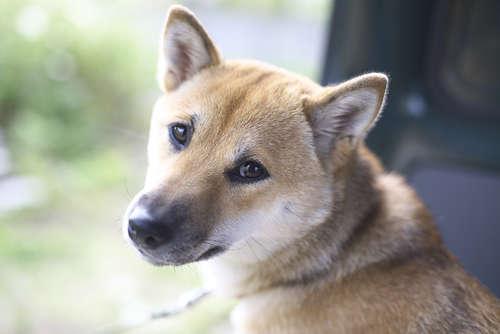 【柴犬】保健所の柴犬。その行く末を追いました。