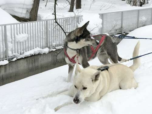 冬の北海道では犬の散歩はできる? 犬種による向き不向き