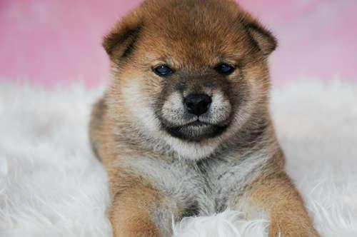 柴犬の価格っていくらくらい? 柴犬の相場について