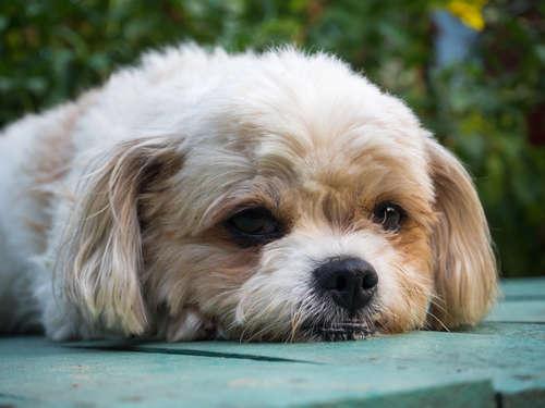 ワンちゃんから大量のフケが…!犬のツメダニによる皮膚炎とは??