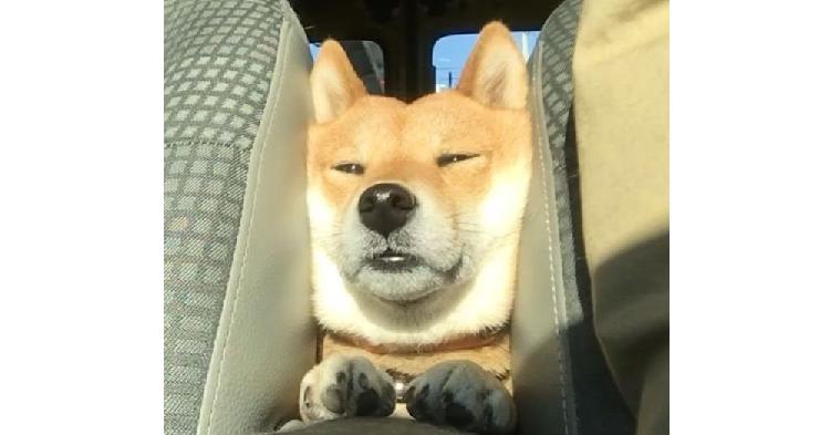 【座席の間にスッポリ♪】車内のお気に入りの場所でくつろぐ柴犬が、たまらなく可愛い(*´﹃`*)