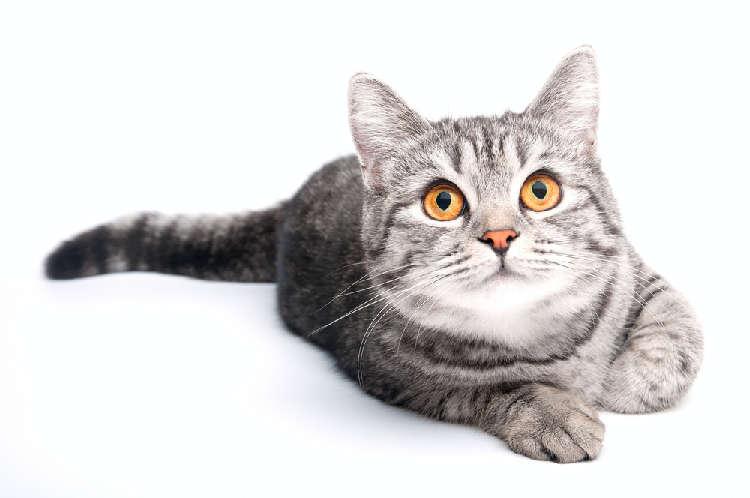 【獣医師が解説】猫の結膜炎の症状・原因・治療法 …