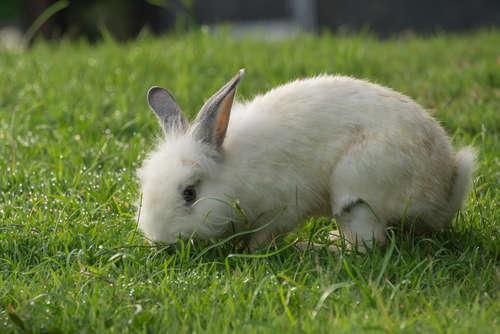 ウサギが、アジサイの葉を好んで食べようとするの …