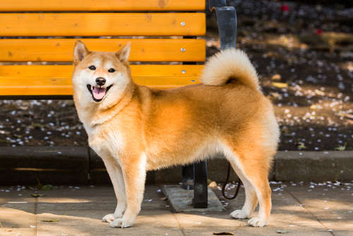 日本犬代表、柴犬! しつけと飼いやすさについて解説します