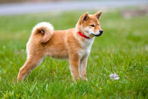 りりしく立つ柴犬