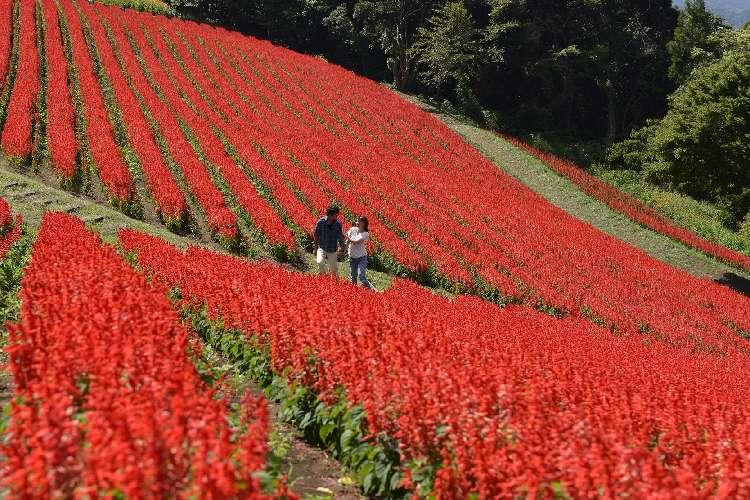 真っ赤な花畑は一見の価値ありです♪