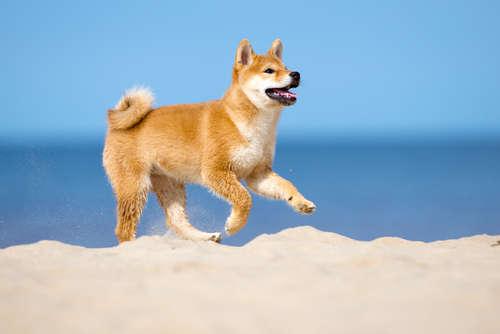 駆け回る柴犬