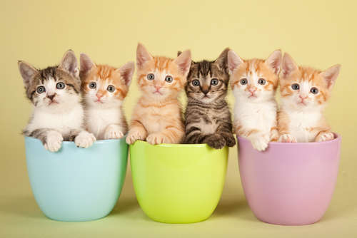 【かわいいのはどの猫?】人気猫の種類ランキング2014
