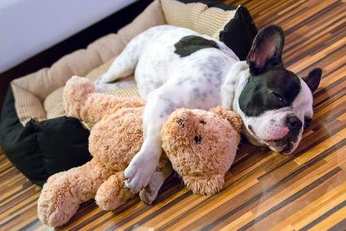【犬の寿命】フレンチブルドッグの寿命について