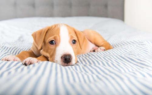 【犬の病気】犬のクッシング症候群ってどんな病気?