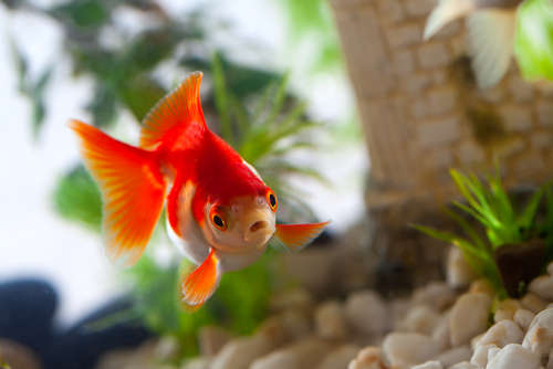 【金魚の病気】死の危険もある怖い感染症、金魚の白雲病