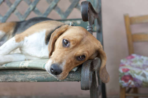 犬の肝性脳症│嘔吐などの症状・原因・治療法まで│病気