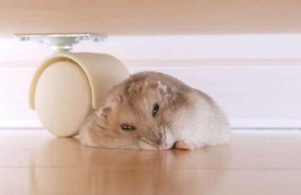 【溶けハム♪】暑さのあまり床の上で溶けちゃったハムちゃん、そのとろけっぷりが……(´艸`*)