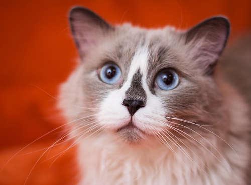ラグドールってどんな猫? 歴史やカラダの特徴、性格、気質、お手入れ、かかりやすい病気は?