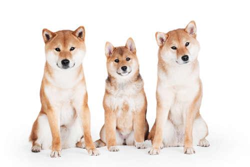 日本犬代表格・柴犬。世界で人気の『柴犬』の飼い方・性格のすべて