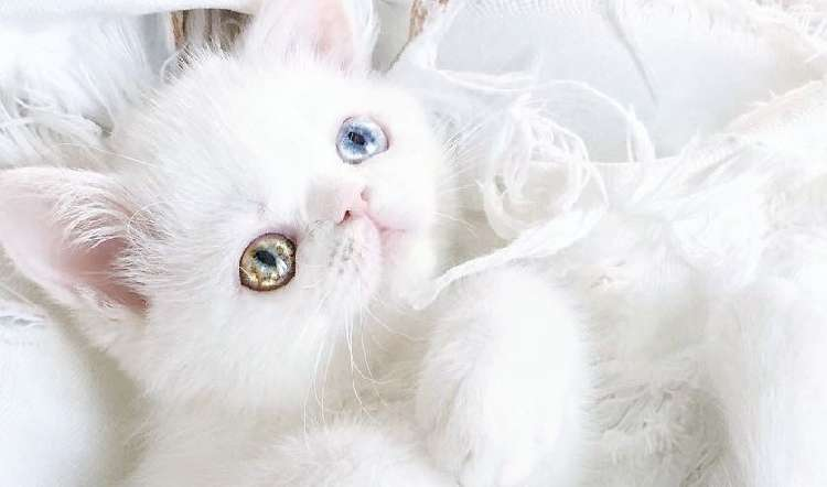 """【惑星のような瞳♡】キラキラ輝くおめめをした、 """"鼻ぺちゃ白猫"""" が美しすぎると話題に…(17枚)"""