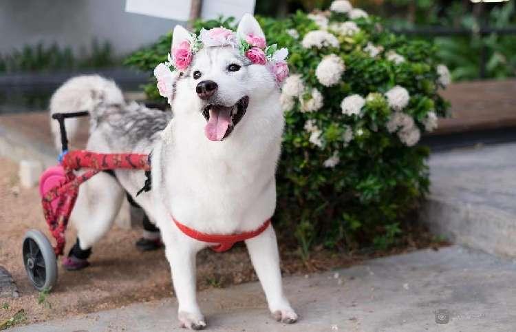 【車いすを使ってどこまでも!】立つことのできない難病を抱えて生まれた、ハスキー犬のお話(13枚)
