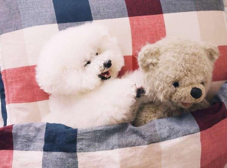 【会話が聞こえてくる♡】クマのぬいぐるみと仲良しなトイプードル、アーニーのほっこり日常(17枚)