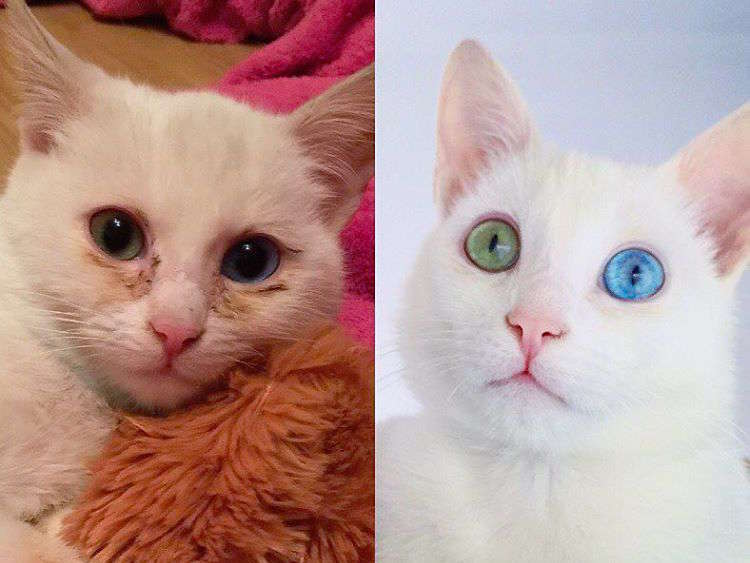 路上で瀕死だったところを保護された白猫。回復して大きくなると驚くほどの美しい姿に♪