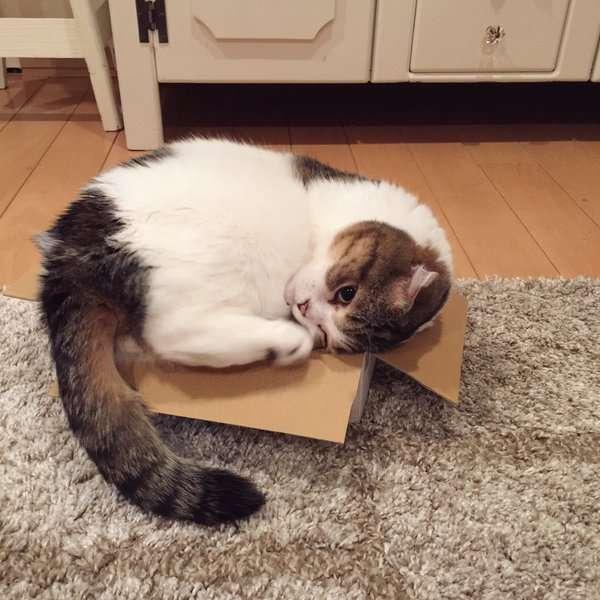小さな箱にどうしても入りたい猫。ずっと頑張ってるけど、全然入れてない…(*´艸`*) 4枚