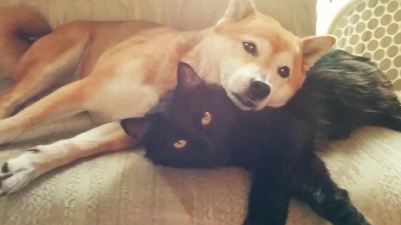 【今日の癒やし】黒猫を枕にしちゃう柴犬と、