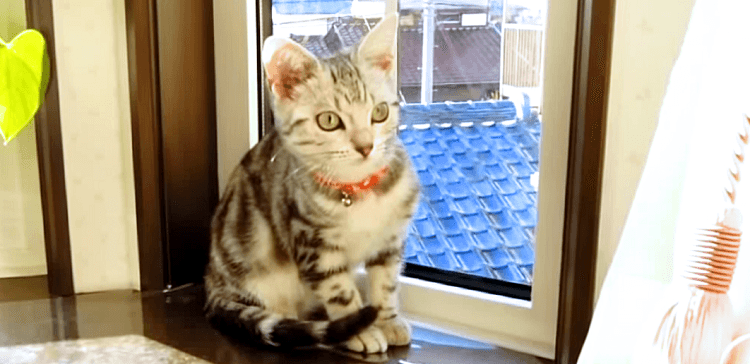 【そっちは危険だにゃ!】窓の外に居る飼い主さんを見た子猫、一生懸命に助けようとする(´;ω;`)♡