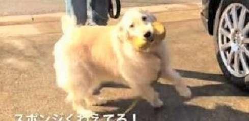 【お手伝いするワン】洗車中の飼い主さんを手伝いたいゴールデン! ウキウキ笑顔がかわいい(*´艸`*)