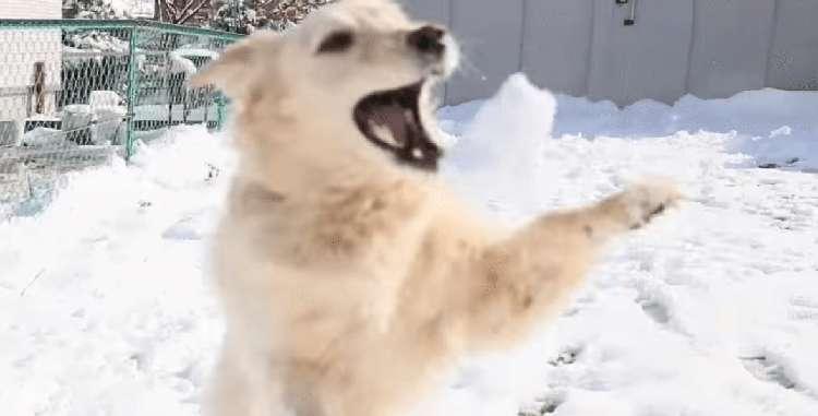 【雪が積もったワーン!】久々の雪が嬉しすぎたゴールデン、大喜びではしゃぎ回る姿が…(*´艸`*)