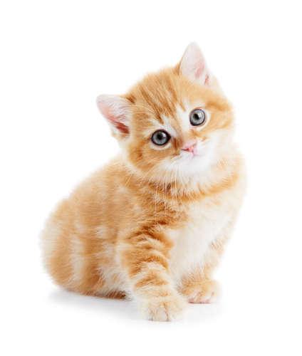 子猫の7ヶ月目の体重は?