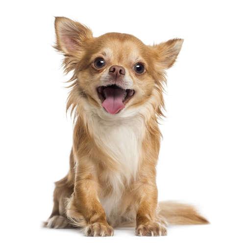 【チワワ】どのくらいの年齢から老犬? どんな世話が必要?