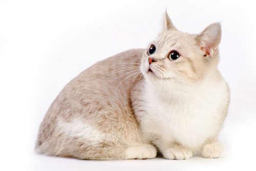 マンチカンってどんな猫?歴史や体の特徴について