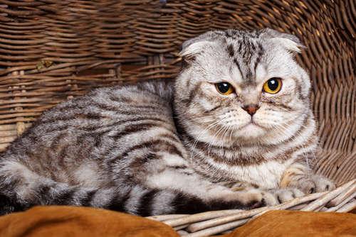 スコティッシュ・フォールドってどんな猫? 歴史や体の特徴について